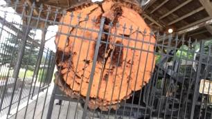 Red Cedarwood tree stump